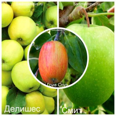 Яблоня - комплект из 3-х сортов: Яблоня Голден Делишес > Яблоня Гренни Смит > Яблоня Джеймс Грив Спур