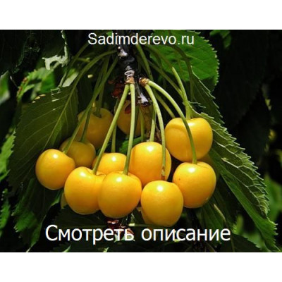 Черешня Дрогана Желтая