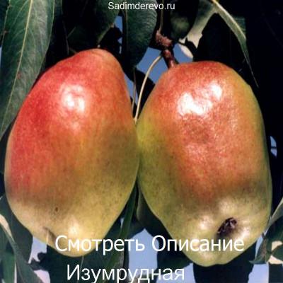 Груша Изумрудная