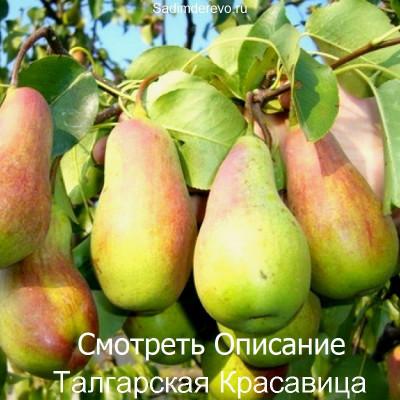 Груша Талгарская Красавица
