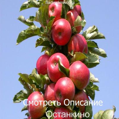 Колоновидная Яблоня Останкино