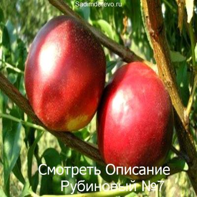 Нектарин Рубиновый №7