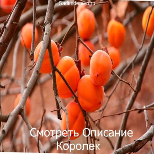 Саженцы Хурмы Королек - фото и описание
