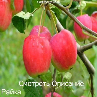 Яблоня Райка