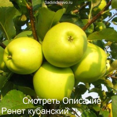 Яблоня Ренет кубанский